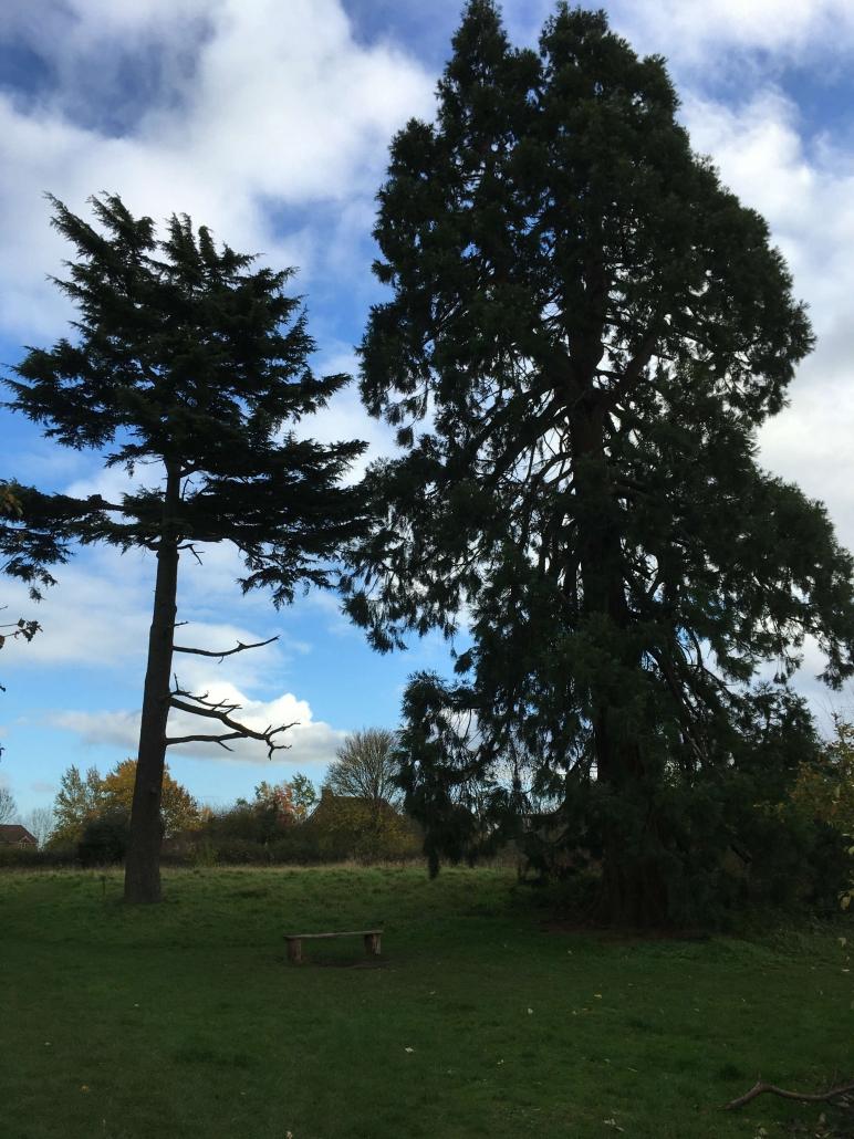 1 lypp conifers