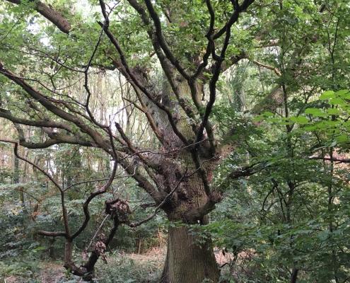 5 trotshill oak by pond