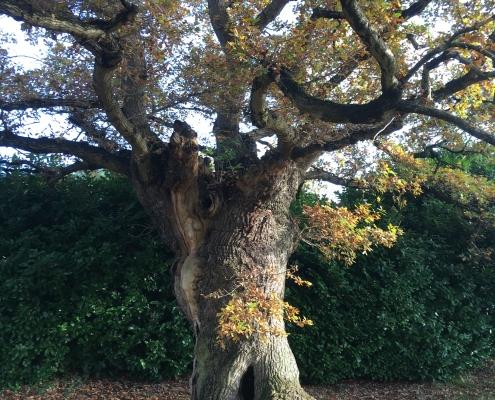 6 barras oak