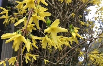 monthly photo forsythia