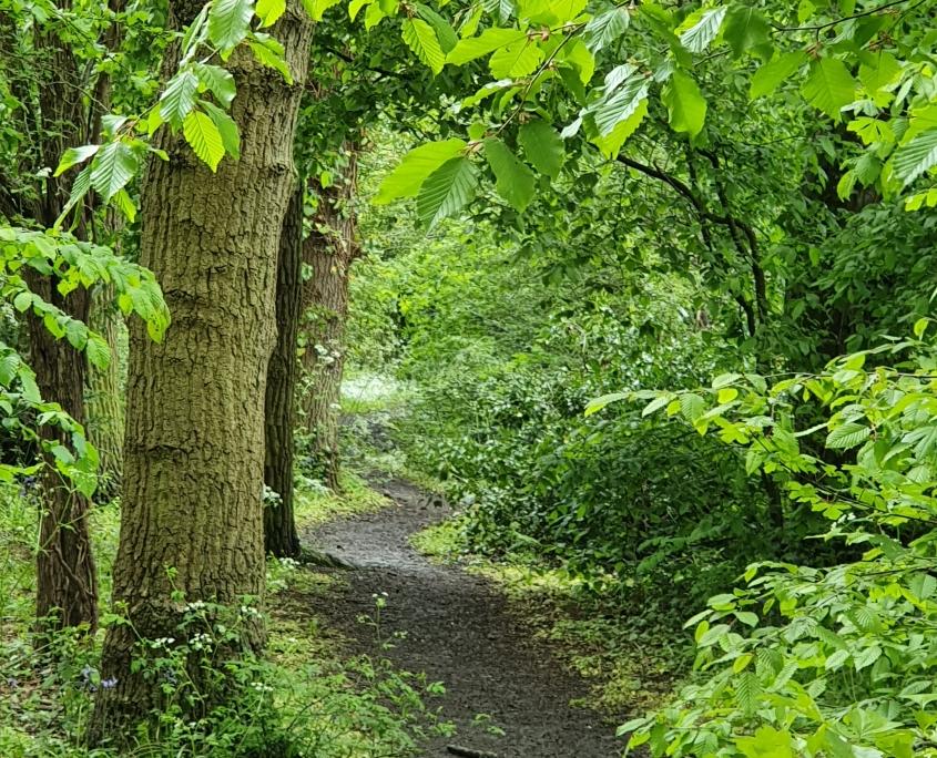 17 tall oaks in leaf